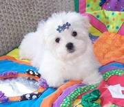 Lovely X-MAS Maltese Pupies For Sale